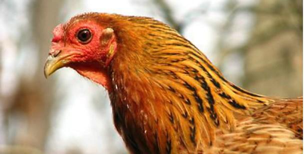 Cropped Chicken_608x308